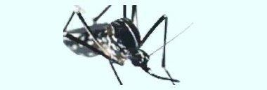 Zanzara Tigre Zanzare 380 ant