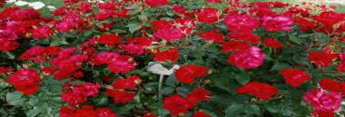 roseto di santa giustina rose 380 ant
